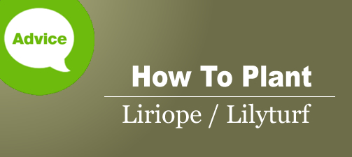 How To Plant And Grow Liriope Lilyturf